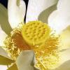 фото цветы лотоса