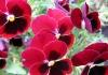 фото цветы фиалки