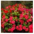 Цветы для сада - каталог цветов и растений для сада и огорода, многолетние и однолетние цветы