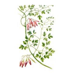 Adlumia asiatica - Адлумия азиатская