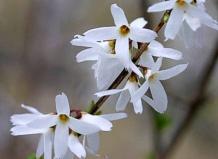 Abeliophyllum distichum - Абелиолистник двурядный