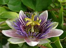 Passiflora edulis - Маракуя