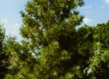 Сосна - Pinus L