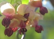 A. quinata - Акебия пятерная