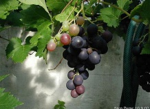Vitis - Виноград
