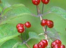 Brownii Dropmore Scarlet - Жимолость красная