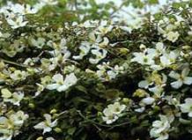 Сlematis montana - Клематис горный