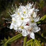 ledum palustre L - Багульник болотный