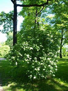 Viburnum lantana - калина гордовина