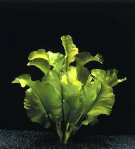 Nuphar japonicum - кубышка японская