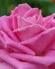 Фотография роза 4