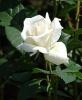 Фотография роза 5