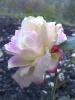 Фотография роза 2