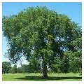 Лиственные деревья - каталог лиственных деревьев: энциклопедия лиственных деревьев