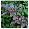 Лиственные кустарники - каталог лиственных кустарников: уход, посадка, фотографии, свойства